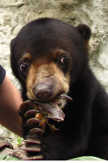 Detail of sun bear cub. Photo by: Siew Te Wong.