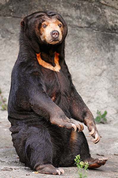 Adult sun bear at the Basel Zoo in Switzerland.