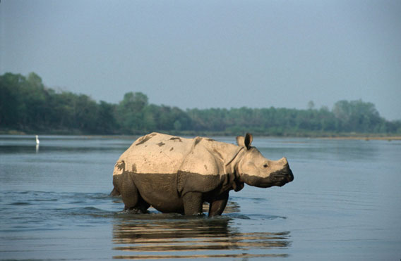 Greater one-horned rhino in Nepal. Photo courtesy of WWF.