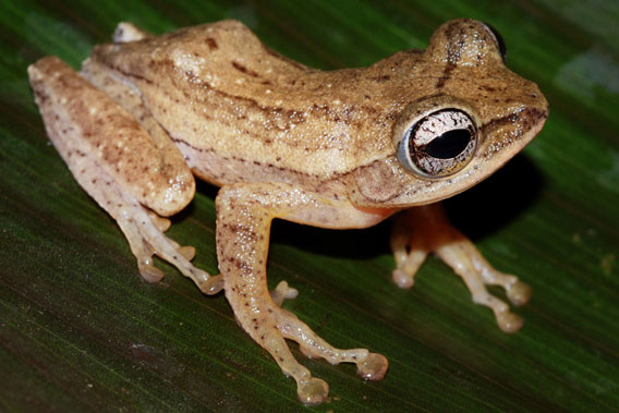 Polypedates bijui is a very rare and seasonal frog. Photo courtesy of D.P. Kinesh.
