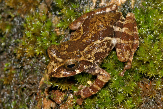 Raorchestes crustai is notable as a canopy frog that makes its home on tree bark. Photo courtesy of D.P. Kinesh.