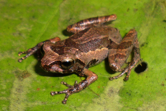 Raorchestes kadalarensis. Photo courtesy of D.P. Kinesh.