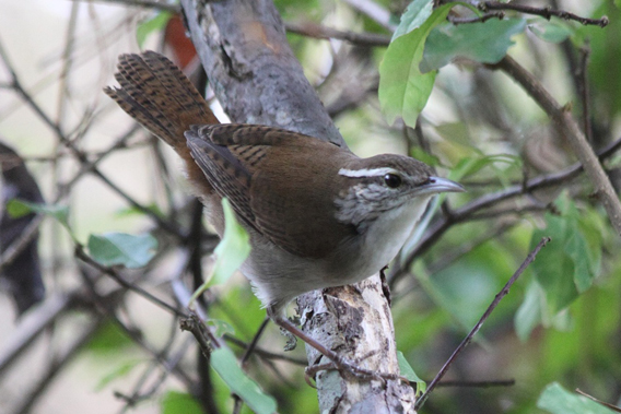 The Antioquia wren (Thryophilus sernai). Photo by: Carlos Esteban Lara.