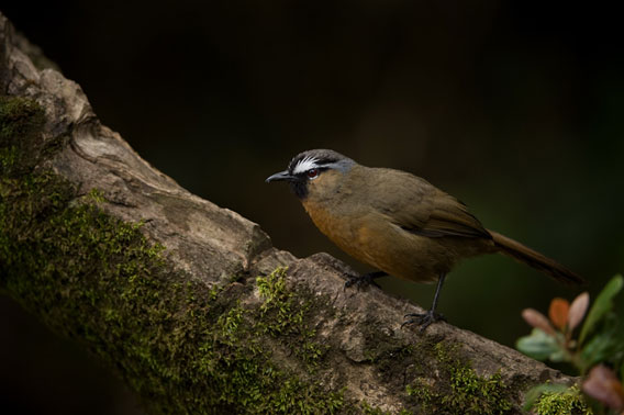 The Nilgiri laughingthrush 	(Strophocincla cachinnans) is found only in the Western Ghats and is listed as Endangered by the IUCN Red List.