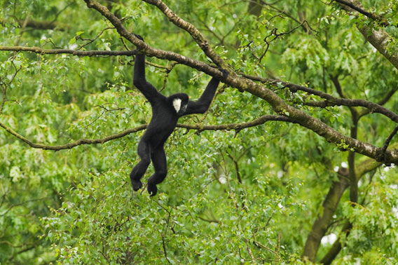 Adult male northern white cheeked gibbon. Photo © Terry Whittaker.