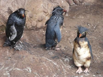 Northern rockhopper penguins covered in oil. Photo by: Tristan Conservation Team of Simon Glass, Wayne Swain and Matthew Green.