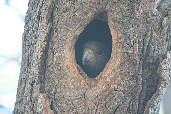 Brown-headed parrot (Poicephalus cryptoxanthus) fledgling in tree cavity in Botswana. Photo by: Tiffany Roufs.