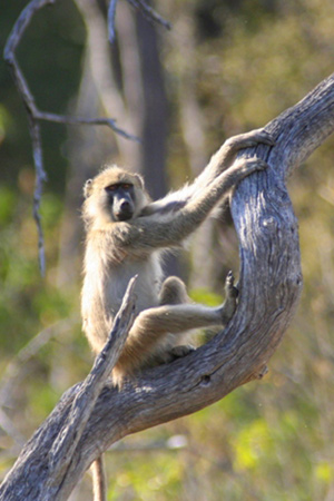 Chacma baboon in Botswana. Photo by: Tiffany Roufs.