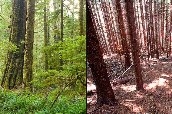 Watt says: 'Seen here is the striking contrast between an old-growth forest (left) and second-growth forest (right). Old-growth forests have gaps in their canopies which lets more light in to the forest floor creating a much more luxuriant understory while second-growth forests tend to have a closed canopy and shade much of the light for other plants.  You can clearly see why it's more than a tree issue here. It's an ecosystem at stake.'