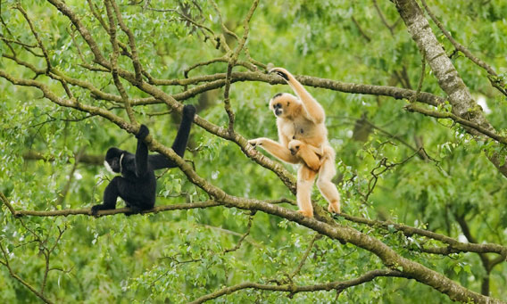 Northern white-cheeked crested gibbon (Nomascus leucogenys), Vietnam. Adult female with baby and adult male. Photo © Terry Whittaker.