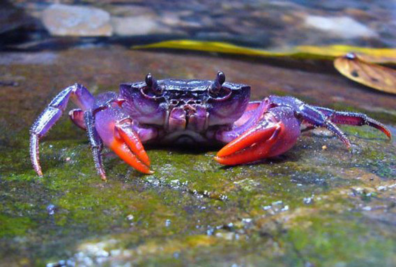 New species of purple crab: Insulamon palawanense. Photo by: Hendrik Freitag.
