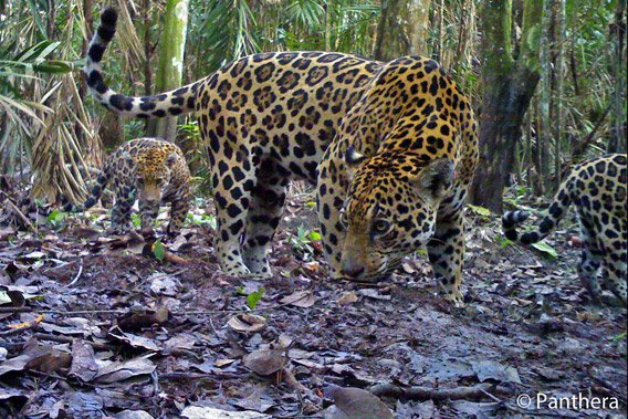 Mother jaguar and two cubs in palm oil plantation in Colombia. Photo by: Panthera.