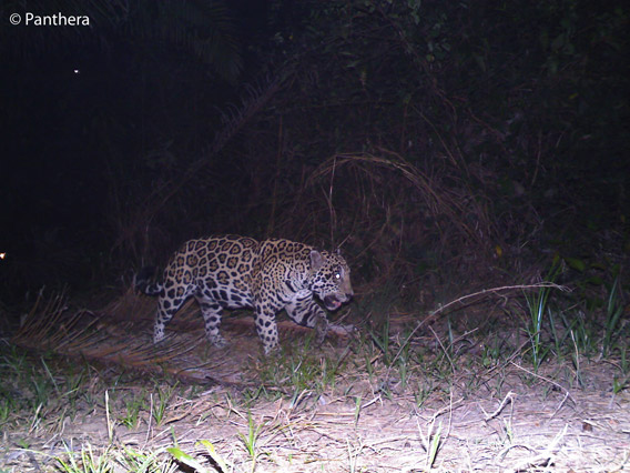 Male jaguar in palm oil plantation in Colombia. Photo by: Panthera.