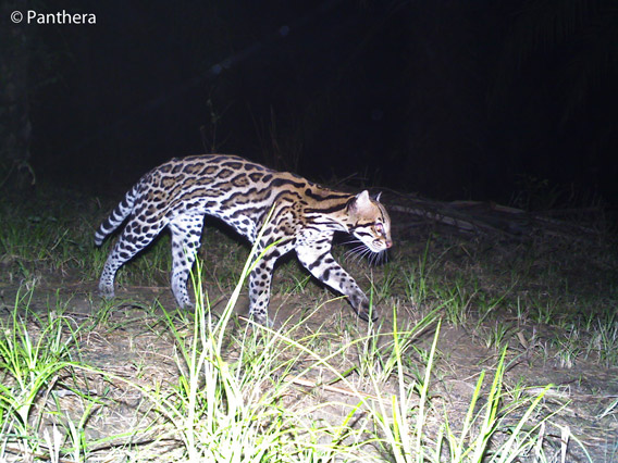 Ocelot in palm oil plantation in Colombia. Photo by: Panthera.