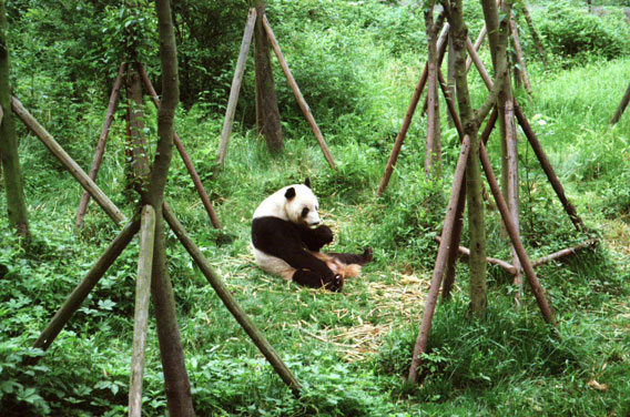 endangered species panda essay Endangered species essay full text image: treatened or endangered species panda essays bank for essays at risk of my costume as the iucn threat to research paper.