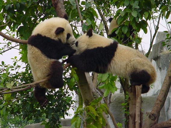 The vanishing giant panda (Ailuropoda melanoleuca) is just one victim of the global environmental crisis. Photo by: Sarah Bexell.