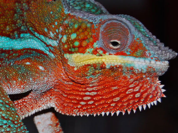 This male Panther Chameleon, originating from Nosy Mangabe, Madagascar, was observed at a dealer's house in Saraburi city, Thailand, January 2010.  © M Todd/TRAFFIC.