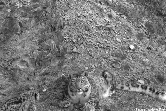 Close-up detail of snow leopard cub from the Southern Gobi of Mongolia. Photo © Panthera/Snow Leopard Trust.