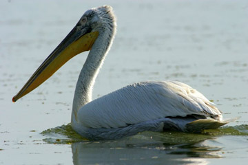 Dalmatian pelican, one of several threatened birds found in Turkey. Photo by: Cagan Sekercioglu.