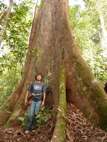 Penan neben einem ausgewachsenen Baum. Foto mit freundlicher Genehmigung von Gavin Bate