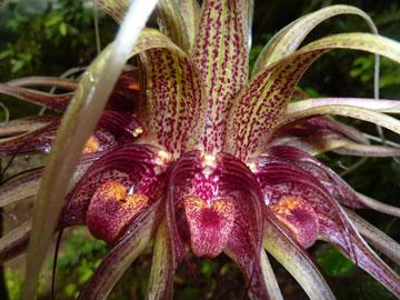 Eine unbekannte Orchidee im Regenwald der Penan. Foto mit freundlicher Genehmigung von Gavin Bate