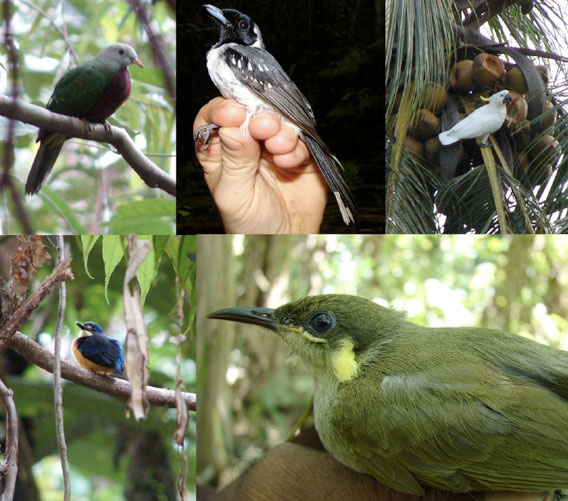 Clockwise from top left: Wompoo Fruit-dove (Ptilinopus magnificus), Spot-winged Monarch (Monarcha guttula), Sulphur-crested Cockatoo (Cacatua galerita) eating coconut, Graceful Honeyeater (Meliphaga gracilis cinerifrons), Variable Dwarf Kingfisher (Ceyx lepidus). Photos by J. Dawson.