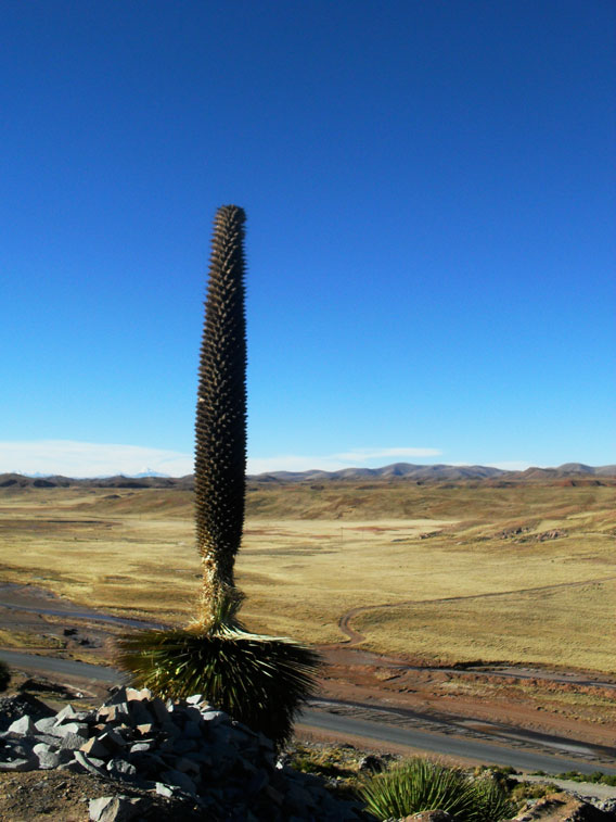 The towering Puya raimondii is the world's largest bromeliad. Photo by: Giacomo Sellan.