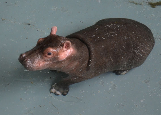 A baby hippo named Hula takes its first swim at the Zoological Society of London's Whipsnade Zoo.