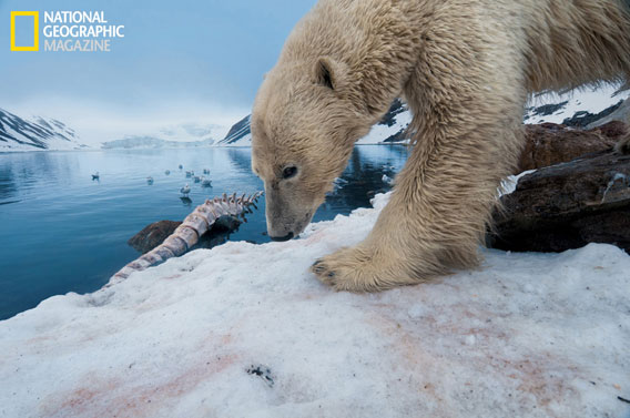 Polar bear beside a whale carcass. Taken with a remote camera. © National Geographic Entertainment. Photo by: Florian Schulz.