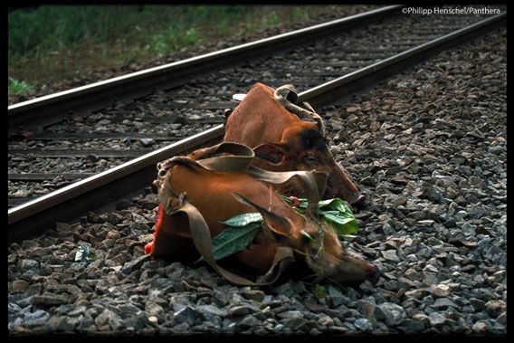Heads of red river hogs left by train tracks. Red river hogs are preferred prey of both leopards and locals. Photo by: Philipp Henschel/Panthera.