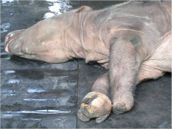 Puntung, showing her normal right foot and left leg ending in a stump. Photo by: John Payne.