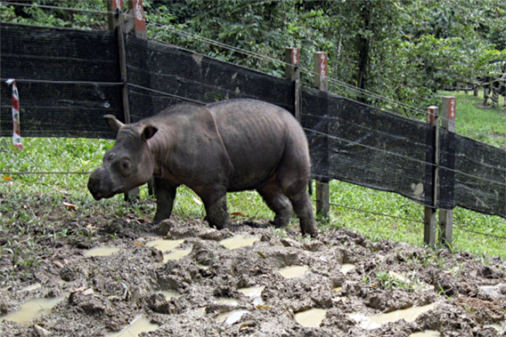 Puntung, entering her forest paddock from her night stall. Walking on wet clay soil is good for her comfort and the condition of her front feet. Photo by: © John Payne/BORA.