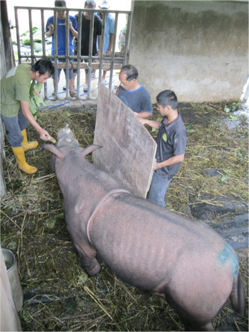 Puntung being coaxed on to scales to take her weight on 26 December 2011. © John Payne/BORA.