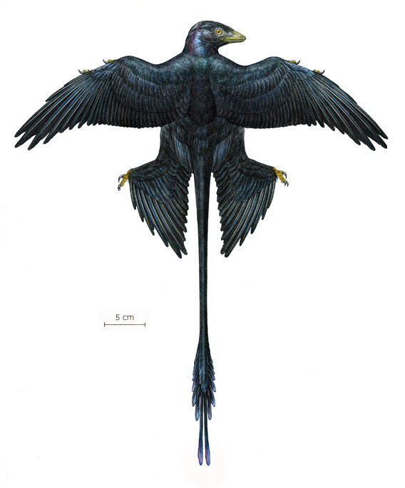 This is a reconstruction of a Microraptor based on digital overlays of nine fossilized specimens. Microraptor was a pigeon-sized, four-winged dinosaur that lived about 130 million years ago. Image by: AMNH/M. Ellison.