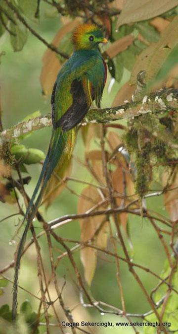 """O quetzal-resplandecente, que era venerado por Maias e Astecas como o """"deus do ar"""", é uma das espécies em perigo / Çağan Şekercioğlu"""