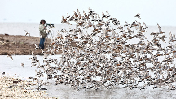 Red knots take-off in Delaware.