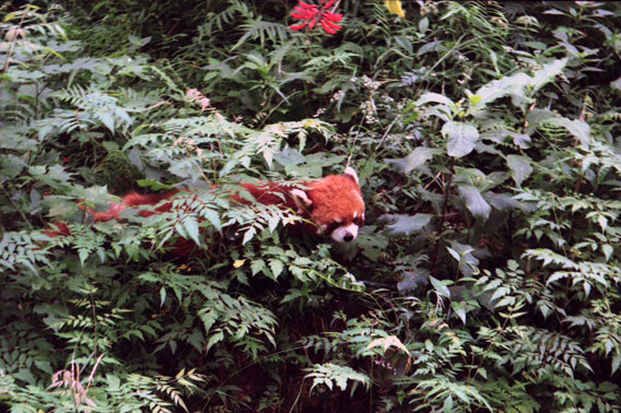 the red panda essay Below is an essay on the red panda from anti essays, your source for research papers, essays, and term paper examples johnathan radel r-2 the red panda the red panda is one of many endangered animals i choose the red panda because it is small and cuddly the reason this animal is endangered is because people are destroying their territory.