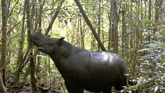 Camera trap photo of Sumatran rhino in the Leuser ecosystem. Photo by: Leuser International Foundation (LIF).