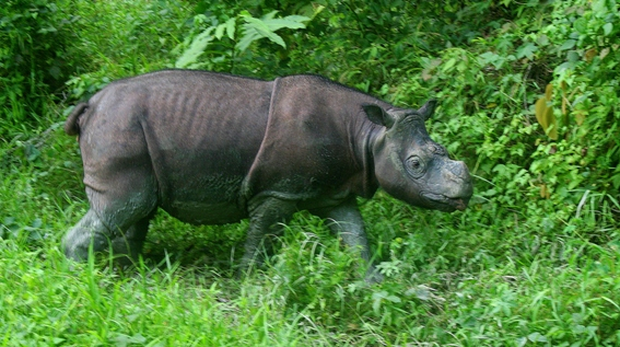 Facing extinction, conservationists call emergency summit to save Sumatran rhinos