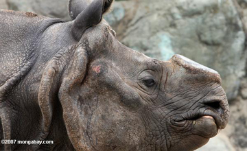 This Indian rhino, or greater one-horned rhino, has had its horn already taken off as a deterrent to poachers.  Photo: Rhett A. Butler.