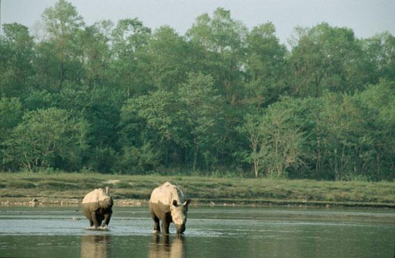 Rinoceronti indiani in Nepal. Foto per gentile concessione del WWF.
