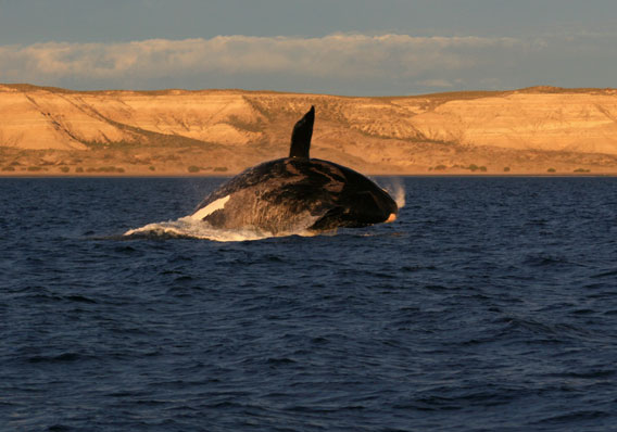 Southern right whale breaching in the Patagonian Sea. Photo by: V. Falabella.