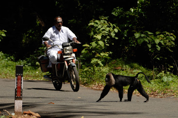 Human encounter: lion-tailed macaques would rarely go on the ground in forests, but dividing roads now force them to make the trek.