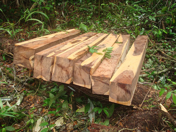 Illegally harvested rosewood from the Sarstoon Temash National Park in Belize. Photo by: Anisario Cal.
