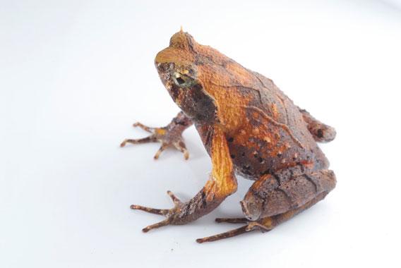A species in the Ophryophryne genus from Vietnam.  Photo by: Jodi J. L. Rowley/Australian Museum.
