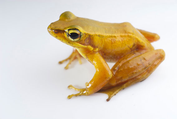 Odorrana khalam is found in Laos and Vietnam. The IUCN Red List categorizes this species as Data Deficient as well. Photo by: Jodi J. L. Rowley/Australian Museum.
