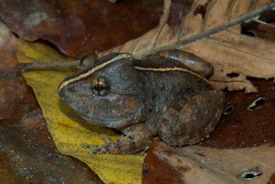 Limnonectes dabanus is only found in Vietnam. The IUCN Red List categorizes this species as Data Deficient. Photo by: Jodi J. L. Rowley/Australian Museum.