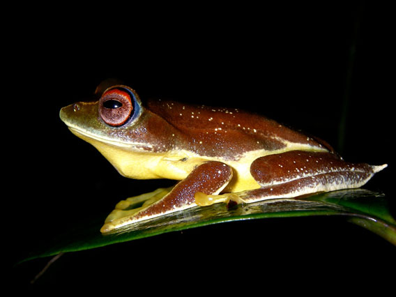 Another view of the flying vampire frog.  Photo by: Jodi J. L. Rowley/Australian Museum.
