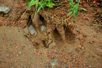 Footprints of the rarely sighted banteng in Tabin Wildlife Reserve. Photo by: Jeremy Hance.
