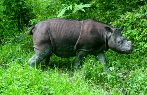 Tam, a male Sumatran rhino is kept in semi-captivity in Borneo with hopes to mate him with a female. Photo by: Jeremy Hance .